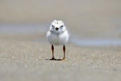 Цыпленок пронзительной ржанки Стоковое Изображение