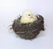 Цыпленок птенеца маленький желтый в гнезде птицы травы и хворостин Стоковое Изображение