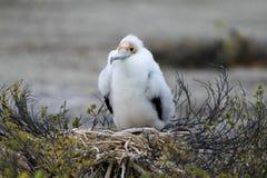 Цыпленок птицы фрегата стоковые изображения