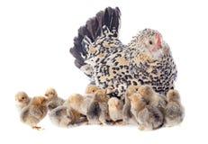 Цыпленок семьи стоковые фото