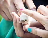 Цыпленок сокола Saker (cherrug Falco) в руках стоковое изображение rf