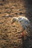 Цыпленок спать Стоковые Изображения RF