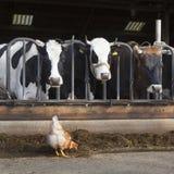 Цыпленок стоит внешний амбар вполне коров на голландской ферме в ne Стоковые Фото