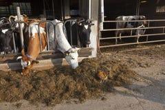 Цыпленок стоит внешний амбар вполне коров на голландской ферме в ne Стоковое фото RF