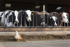 Цыпленок стоит внешний амбар вполне коров на голландской ферме в ne Стоковое Изображение