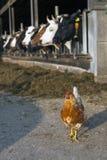 Цыпленок стоит внешний амбар вполне коров на голландской ферме в ne Стоковое Изображение RF