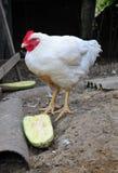 Цыпленок с белым пером Стоковое фото RF
