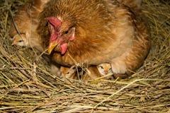 Цыпленок с цыплятами Стоковая Фотография RF