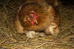 Цыпленок с цыплятами Стоковые Фотографии RF