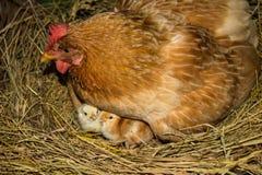 Цыпленок с цыплятами Стоковое Фото