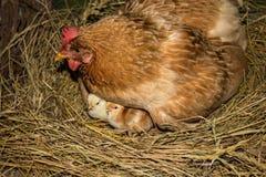 Цыпленок с цыплятами Стоковое Изображение
