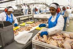 Цыпленок фабрики, стоковое изображение