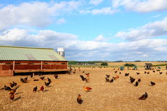 Цыпленок фермы стоковая фотография