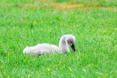 Цыпленок черного лебедя кладя в траву Стоковое Изображение