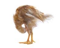 Цыпленок яичек стоя и прихорашиваясь оперение, перо изолировал белизну Стоковая Фотография RF