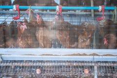 Цыпленок яичка в курятнике стоковые фото