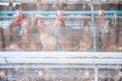 Цыпленок яичка в курятнике стоковое фото rf