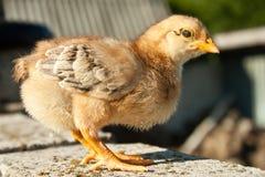 Цыпленок Стоковое Изображение RF