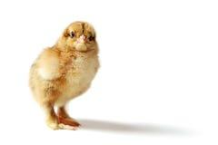 Цыпленок Brahma стоковое изображение rf
