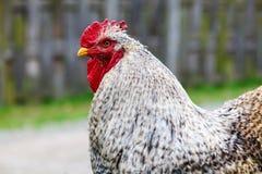 Цыпленок Cochin стоковое фото rf