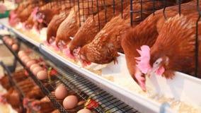 Цыпленок eggs, курица есть еду в ферме сток-видео