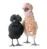 Цыпленок 2 Padovana стоковая фотография rf