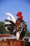 Цыпленок Serama, Kelantan, Малайзия стоковые фотографии rf