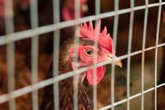 Цыплята в большом приложении стоковые фотографии rf
