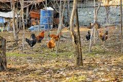 Цыплята в дворе стоковая фотография