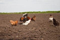 Цыплята в огороде стоковые фото