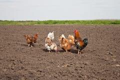 Цыплята в огороде Стоковое Изображение