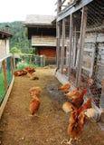 Цыплята в ограженном приложении Стоковое Изображение RF