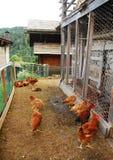 Цыплята в ограженном приложении Стоковые Фото