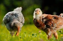Цыплята в Farmyard стоковые изображения