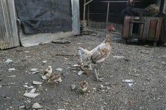 Цыплята задворк, и Gamecocks Стоковые Фотографии RF