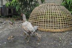 Цыплята задворк, и Gamecocks Стоковое Изображение
