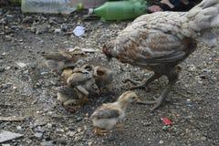 Цыплята задворк, и Gamecocks Стоковое фото RF