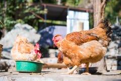 Цыплята идут на курятнику стоковые изображения rf