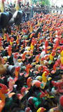 цыплята много Стоковое Изображение RF
