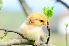 цыплята младенца стоковые изображения rf