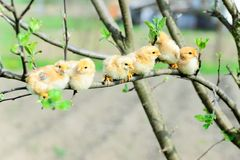 цыплята младенца стоковое изображение