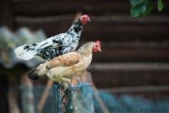 Цыплята на традиционной свободной птицеферме ряда Стоковое Изображение