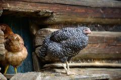Цыплята на традиционной свободной птицеферме ряда Стоковые Изображения