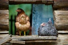 Цыплята на традиционной свободной птицеферме ряда Стоковое фото RF