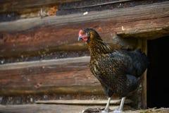 Цыплята на традиционной свободной птицеферме ряда Стоковые Фото