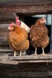Цыплята на традиционной ферме Стоковая Фотография