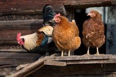 Цыплята на традиционной ферме Стоковые Изображения