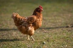 Цыплята на традиционной ферме Стоковая Фотография RF