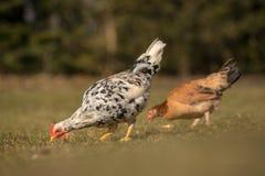 Цыплята на традиционной ферме Стоковое Изображение