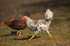 Цыплята на традиционной ферме Стоковое фото RF